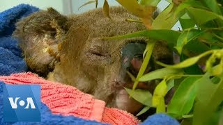 Burnt Koala Reunites with Rescuer in Hospital