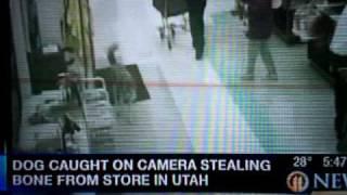 Siberian Husky Shoplifting In Utah! Christmas Eve Thief! Hahah