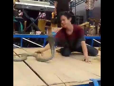 Sugi cobra edan bermain king cobra