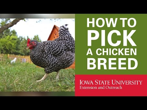 Backyard Chickens: How to Pick Your Breed of Chicken