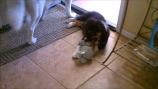 Siberian Husky And Australian Shepherd Puppy Playing