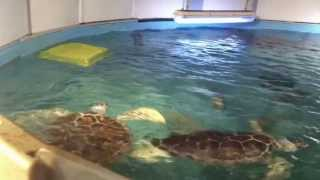 Behind the Scenes: Sea Turtle Exhibit