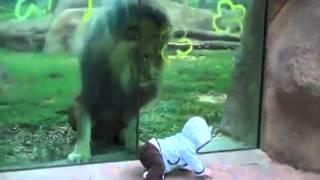 Lew chce zjeść dziecko