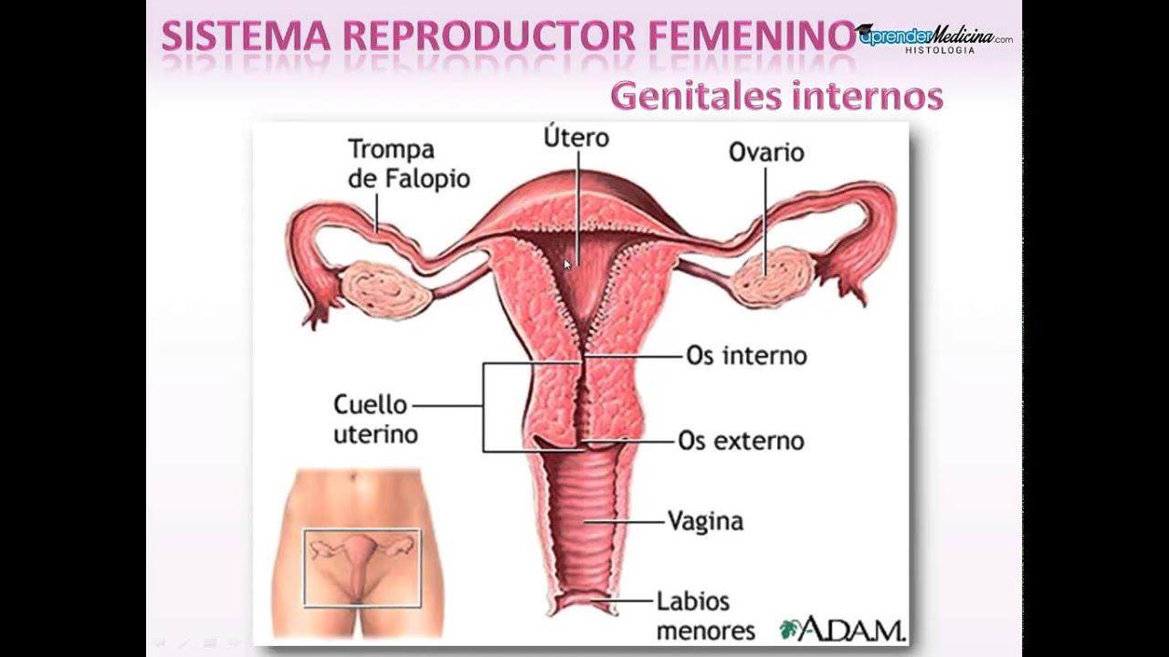 Sistema Reproductor Femenino. Introducción - YouTube
