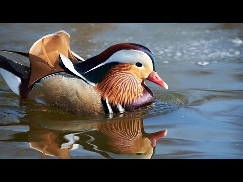 Mandarin duck in NYC's Central Park