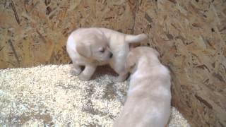 Allevamento Labrador Retriever Cuccioli Figli Tancredi For Rosemade Di Riochiaro