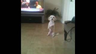 Cute Dog - Snowball - Can Stand Around On Hind Legs- Cool Poodle!