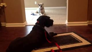 Aggressive Brother's Relaxing Together - The Calm K9 Dog Training