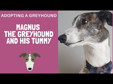 Adopting A Greyhound - Magnus and his tummy