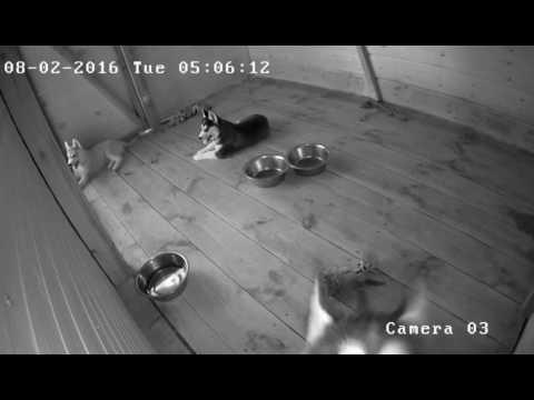 Хаски Альва и её щенки. Камера в опасности. Husky attacks the camera.