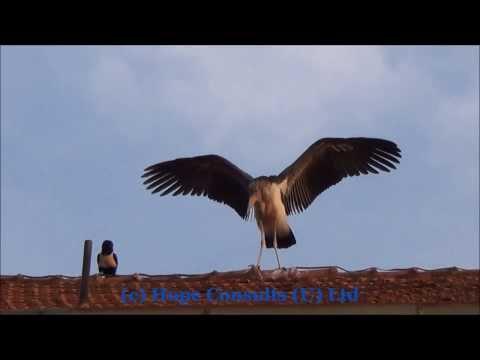Play between Crow versus Malabu