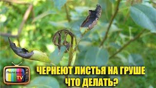 видео Чем лечить ржавчину на груше - признаки болезни, лечение и профилактика.