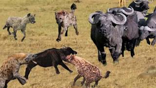 Buffalo fights with Hyena to protect life - The power of Buffalo, What will happen after the battle?