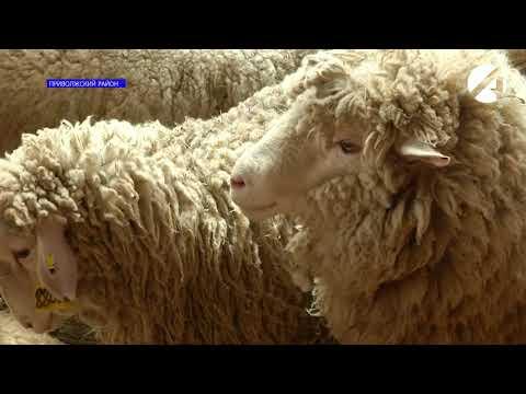 Астрахань может стать пилотным регионом в федеральной программе по развитию овцеводства