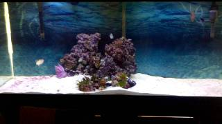 My 120g Great Barracuda, Lionfish And Snowflake Eel Aquarium And My 30g Coffee Table