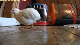 Widget Does Stuff - Tame Button Quail