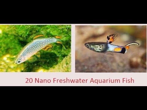 Top 20 Nano Freshwater Fish For Aquarium