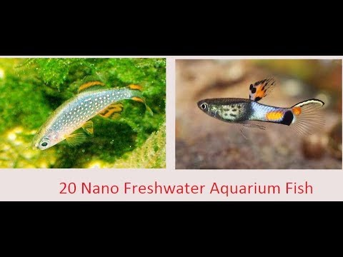 Top 20 Nano Freshwater Fish For Aquarium