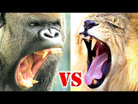 Gorilla Vs Lion Who Would Win?