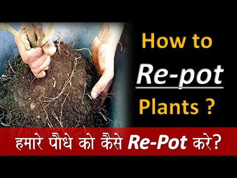 Plant Repotting tips and care