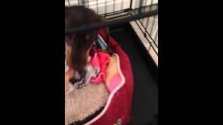 Naughty Dachshund Puppy Lilian Steals Underwear
