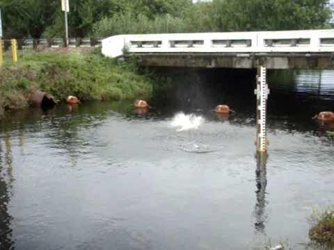Huge tarpon in miami canal