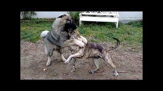 Caucasian Shepherd Dogは、ロシア、アルメニア、アゼルバイジャン、グ...