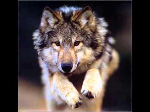 melhores fotos de lobos