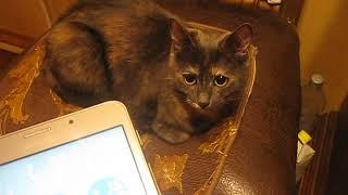 """Реакция кошки на приложение""""кошачий разговорник""""."""