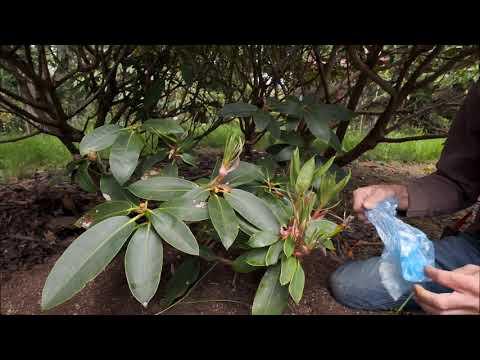 Rhododendron layering - Burncoose Nurseries