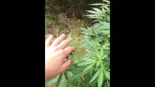 My Advanced Guerrilla Grow | Patrick the grower
