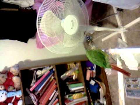 Training tweety (conure parrot)