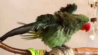 КУПАНИЕ АЛЕКСАНДРИЙСКОГО попугая