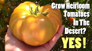 Grow Heirloom Tomatoes In The Desert? Yes!