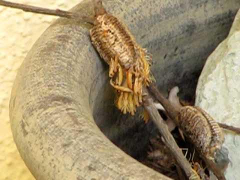 Praying Mantis Eggs Praying Mantis Hatchin...
