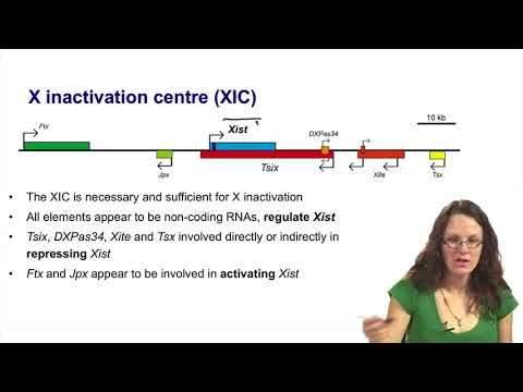 3.   3   Stages of X inactivation   counting and control of Xist expression