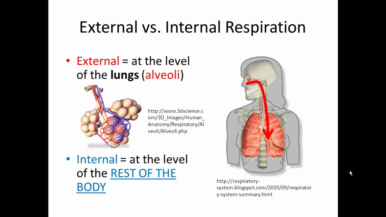 external and internal respiration (gas exchange) simplified!!! - youtube