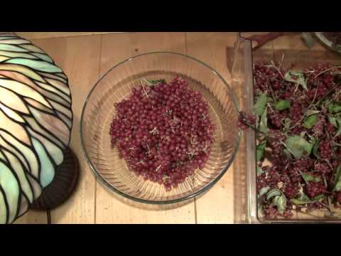 Prepping to Make Autumn Olive Jam: Picking Berries -- ASMR -- Soft-Spoken, Male, Clicking, Tapping