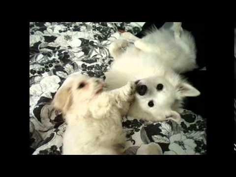 Funny Dog American Eskimo Dog | Funny Animals Video.Mp4