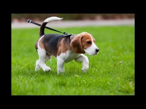 Beagle Weight Throughout Different Life Stages Youtube