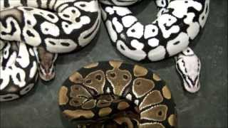pure black and white ball python