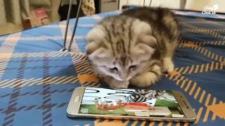 Thớt mê xem ti vi - Mèo anh lông ngắn - Cùng chia sẻ.