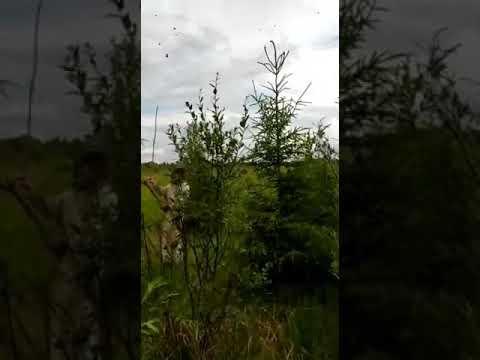 Лесной сюрприз, особые методы снятия роя