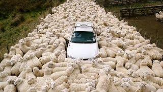 喪尸綿羊不吃草,開始吃人了,一部讓你笑著看完的恐怖片《瘋羊》