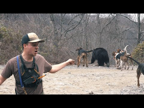 THREE BIG BEAR in ONE DAY – Bear Hunting with Hounds