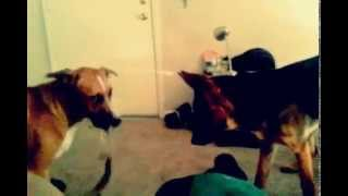 Hercules (boxer Mix) Vs Greddy (german Shepherd)