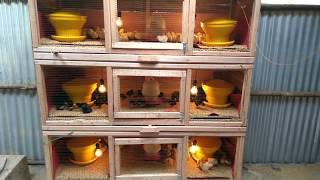 Cara Beternak DOC Ayam Joper, Bisa Hemat Waktu, Hemat Pakan & Panen Ayam Usia 45 Hari Hasil Maksimal