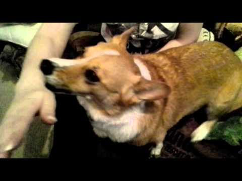 Corgi hates it when someone hits his owner