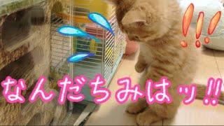 短足マンチカンの子猫茶々がハムスターを見たらなにか考え込んで何度も...