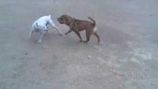 Shar Pei Vs Boxer